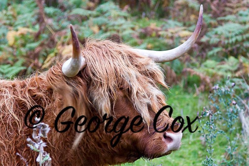 Highland Cow - Mammals