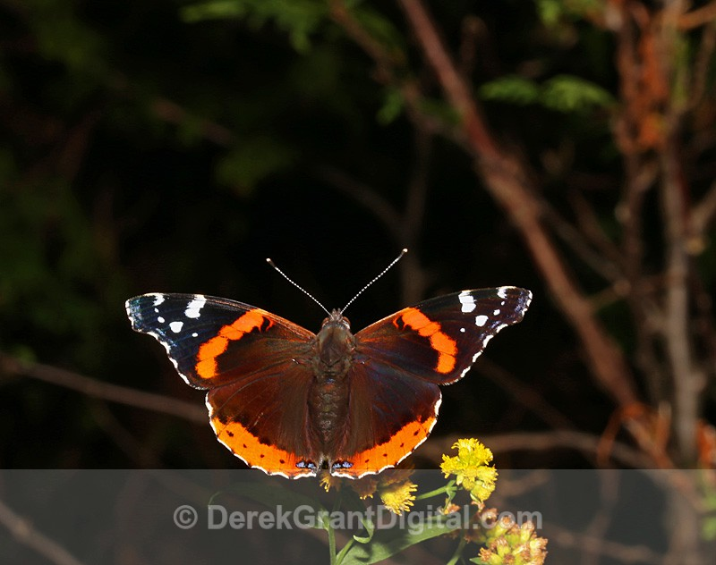 Red Admiral - Butterflies & Moths of Atlantic Canada