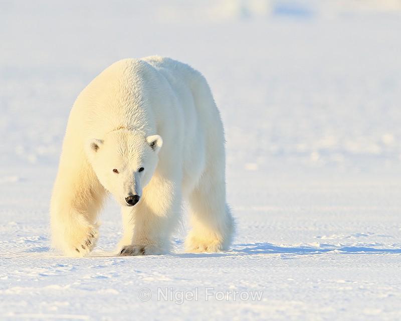 Female Polar Bear, Svalbard, Norway - Polar Bear