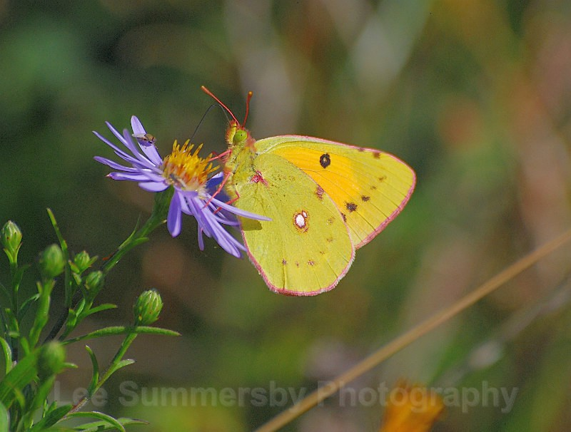 Clouded Yellow, Budleigh Salterton - Butterflies and Moths
