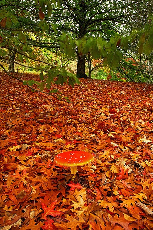 Fly  Agaric Vert 7571 - TREES, FLOWERS AND PLANT PHOTOS