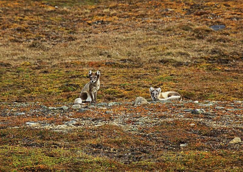 Arctic foxes 3822 - Wildlife