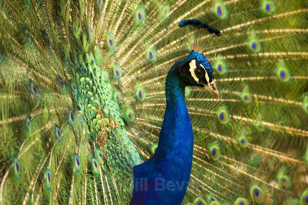 Peacock Display 2 - Travel