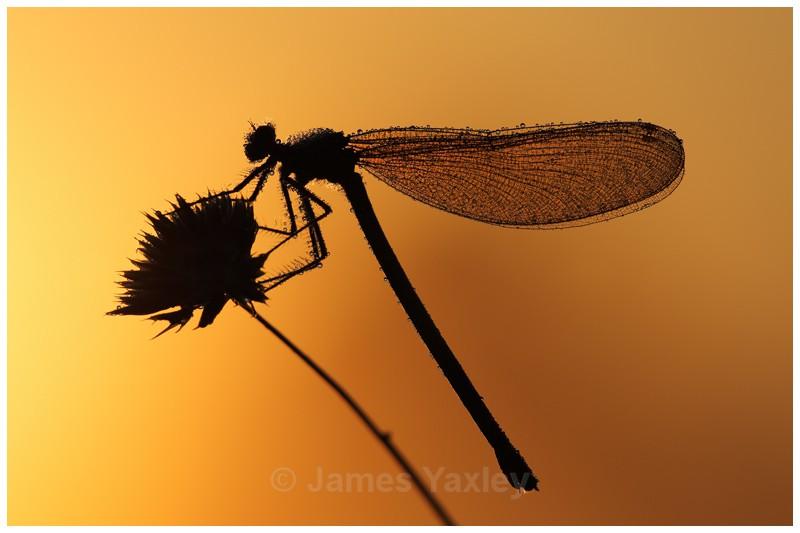 Demoiselle Sunrise - The British Wildlife Photography Awards 2009 to 2014
