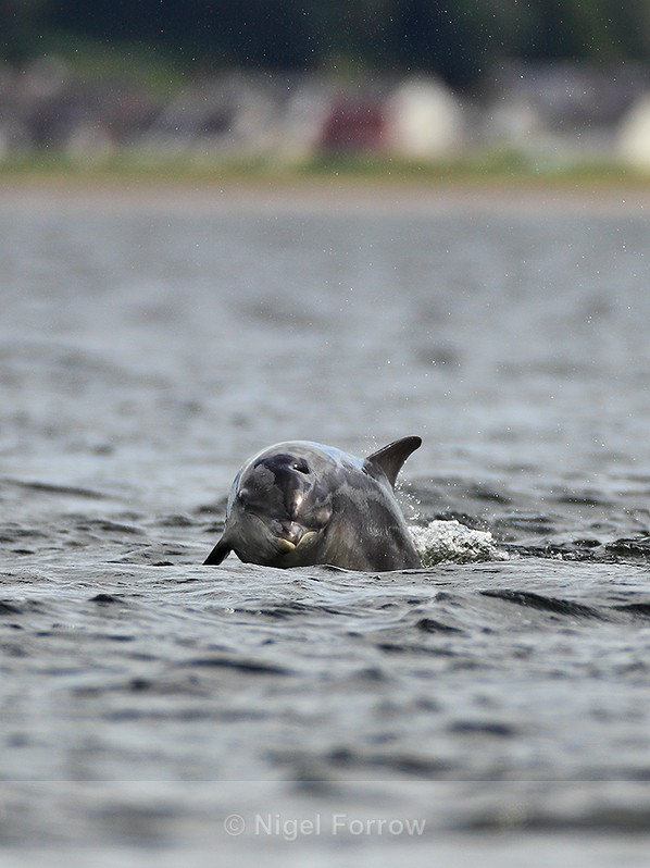 Bottle-nosed Dolphin at Chanonry Point in the Moray Firth - Dolphin