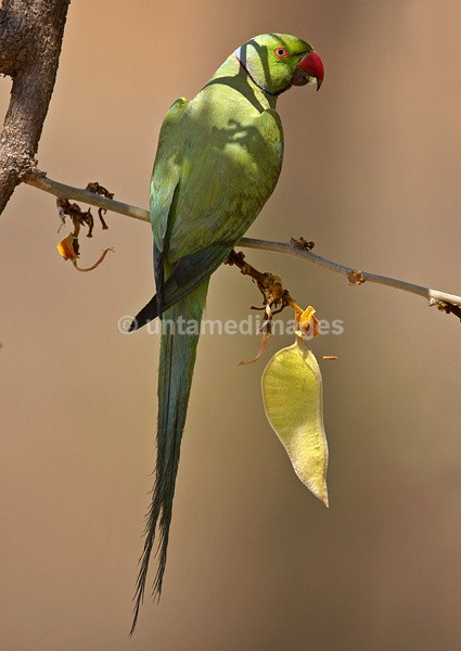 Rose-ringed Parakeet 2 - India