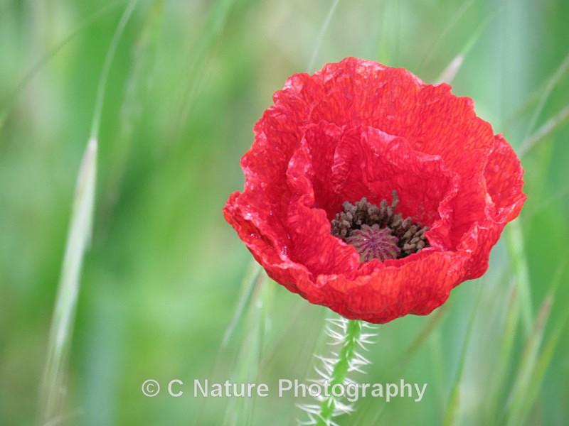 Poppy In The Rain - Plants