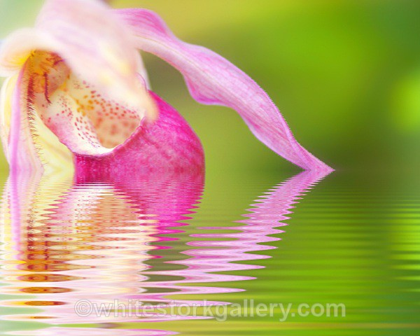 Brasilian Orchid Reflection - Digital Art
