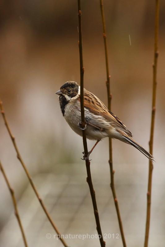 Reed Bunting -Emberiza schoeniclus RPNP0656 - Birds