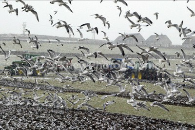 Gulls - Orkney Images