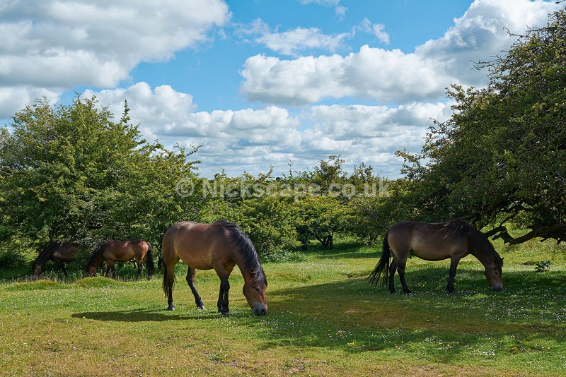 Exmoor Ponies at Spire Cross - Exmoor