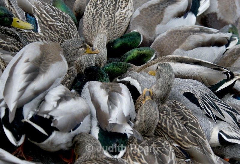 Duck Feeding Frenzy - Reifel Refuge