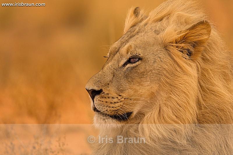 - Lion
