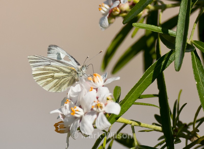 Green-veined white - Animals