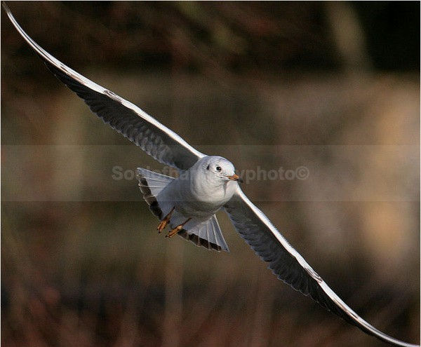 Black Headed Gull In Flight - Wildlife Wildlife