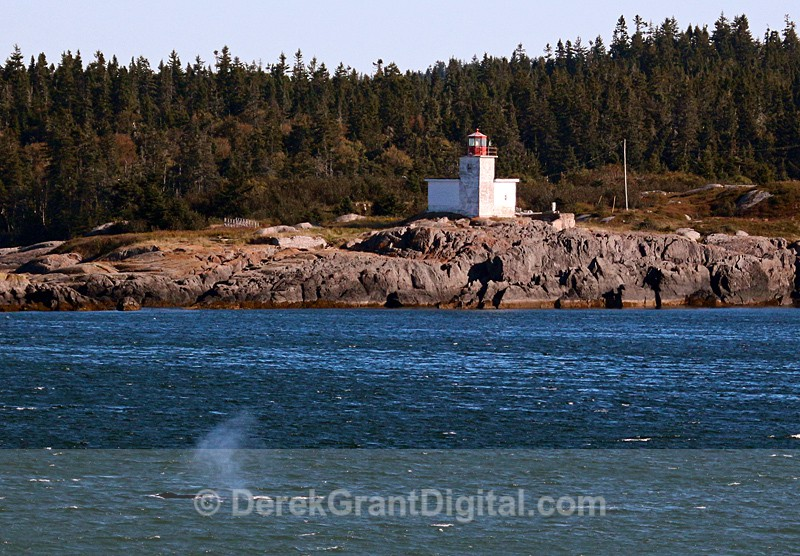 Finback Blow off Pea Point Lighthouse Blacks Harbour NB - Bay of Fundy Whales