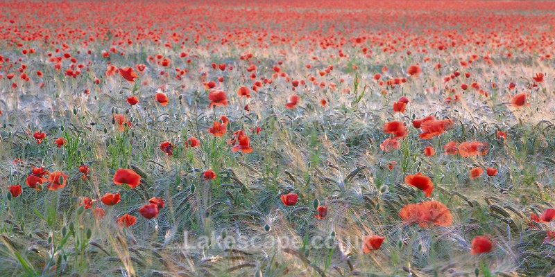 Poppies & Wheat_8154 - Flowers