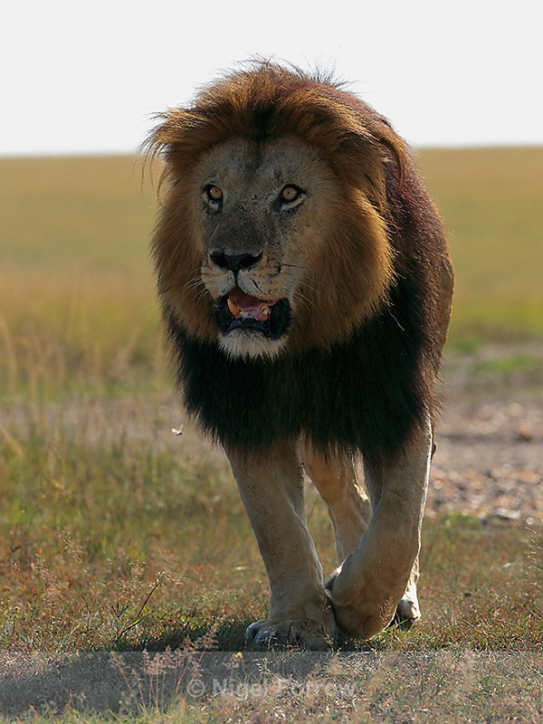 Notch the Lion on the move in the Masai Mara - Lion