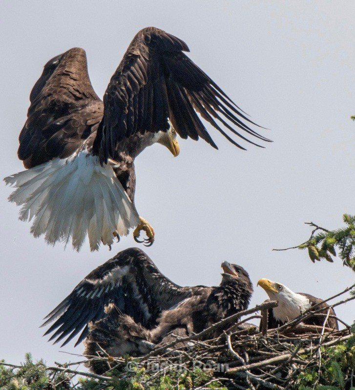 Bald Eagle returning to nest - Backyard Birds of the Pacific Northwest