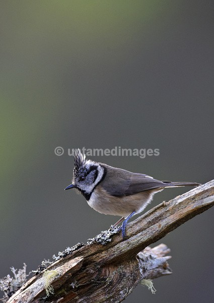Crested Tit - United Kingdom