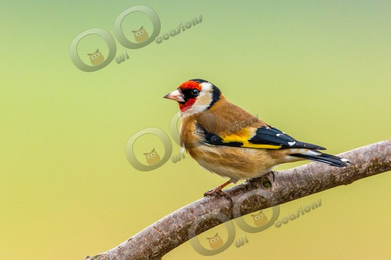 Goldfinch Carduelis carduelis 1189 - UK birds