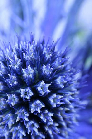 Sea Holly - Flowers