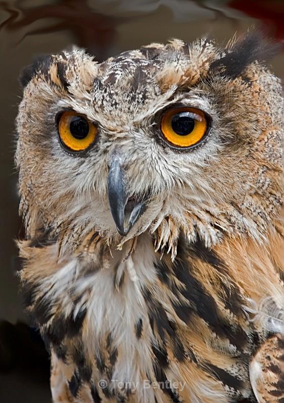 Eagle Owl - Miscellaneous
