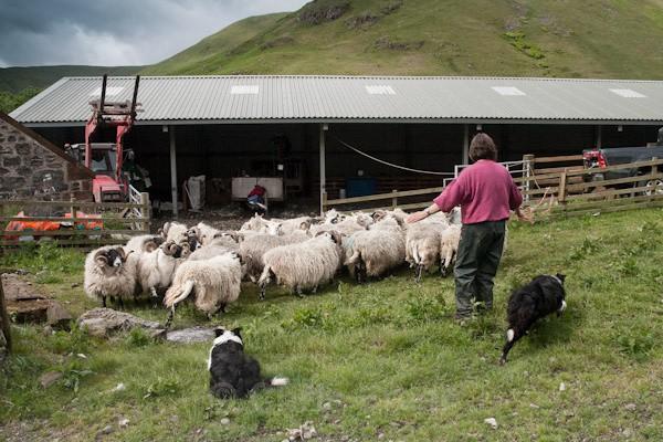2 - Shearing at Glenwhargen Farm