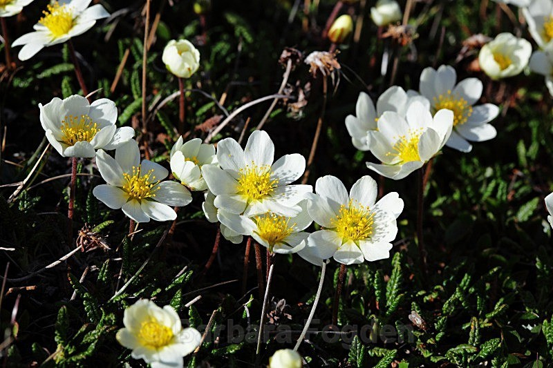 Mountain Avens 2461 - Colours of Svalbard