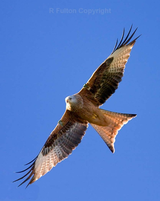Red Kite in Flight - Nature