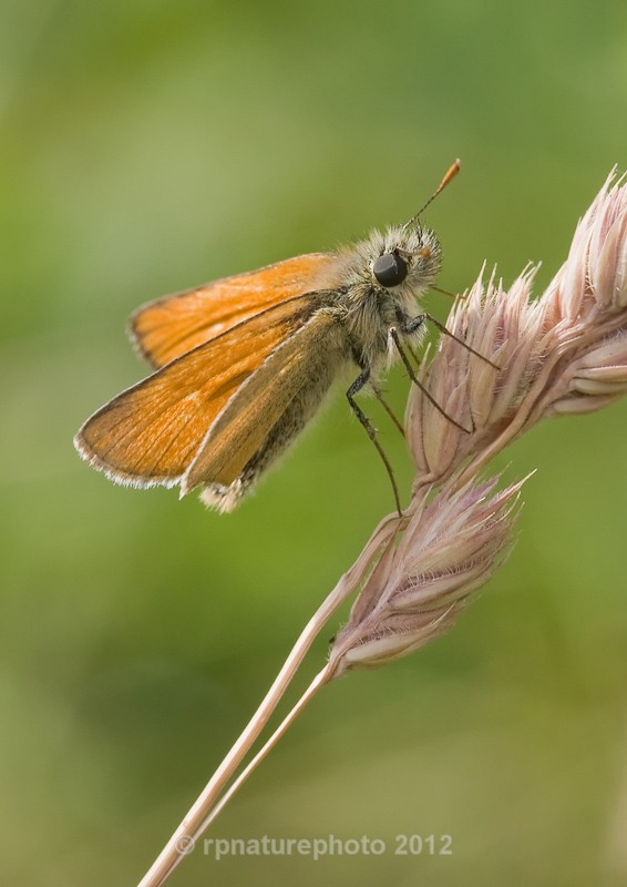 Small Skipper - Thymelicus sylvestris RPNP0001 - Insects & Spiders