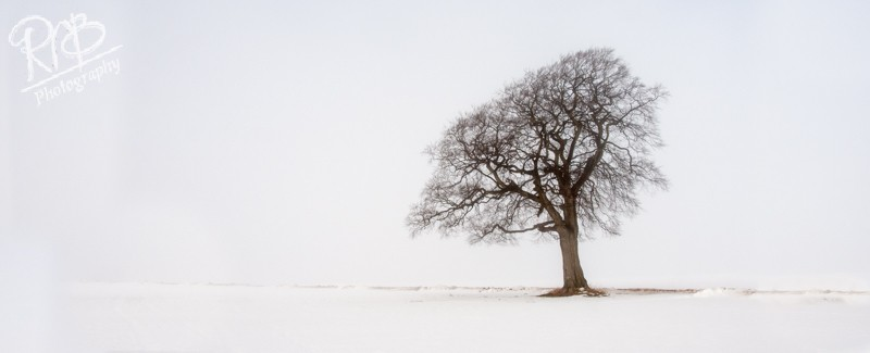 Lone Tree In Winter - Panoramic Images