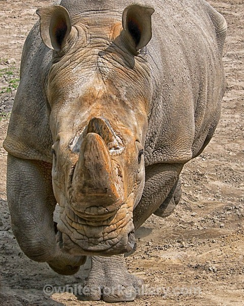 The Charging Rhino ! - Wildlife and Animals