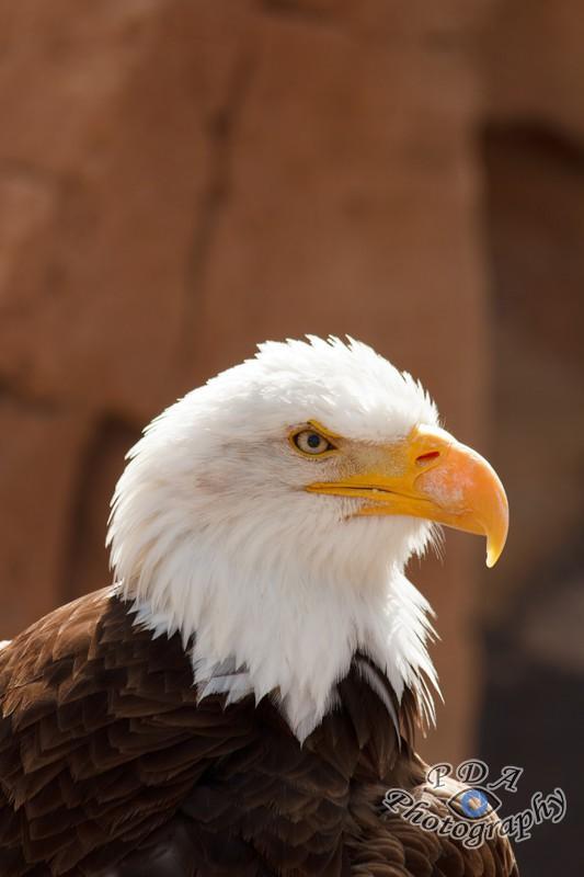 2 Bald Eagle
