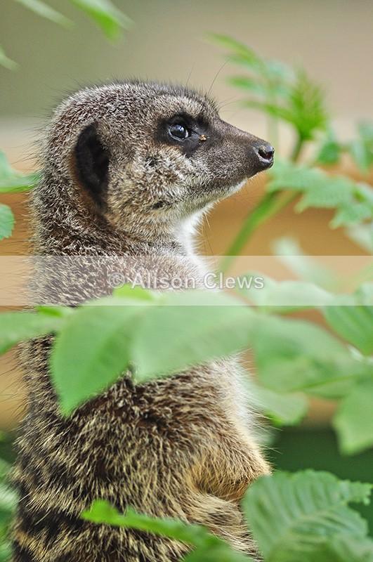 Meerkat 1 - Wildlife