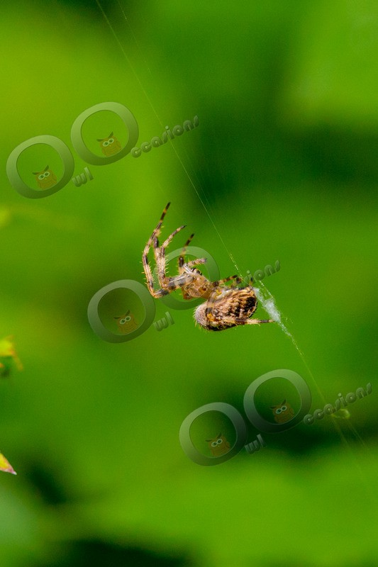 Cross Orb Spider Araneus diadematus-2255 - Insects from around the world