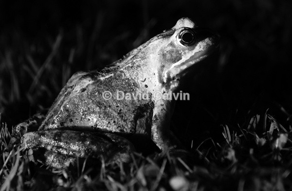 Nocturnal Amphibian - Nocturnal