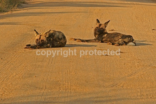 Hunting Dogs - Krüger NP, South Africa - African Wildlife