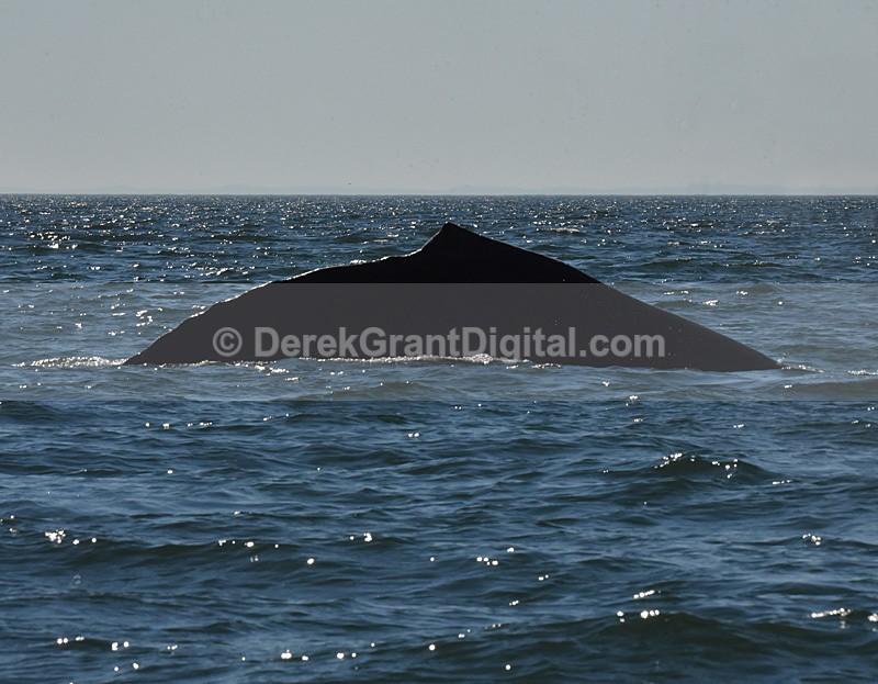 Humpback Whale Megaptera novaeangliae namesake profile - Bay of Fundy Whales