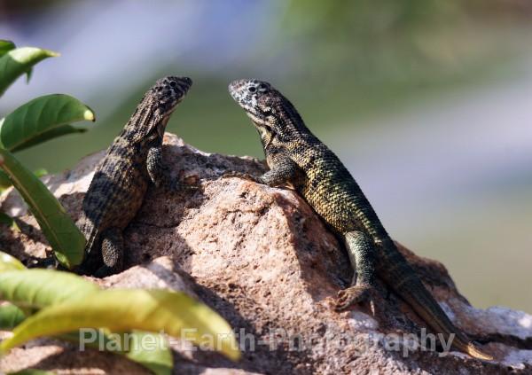 Rock Lizards - Cuba
