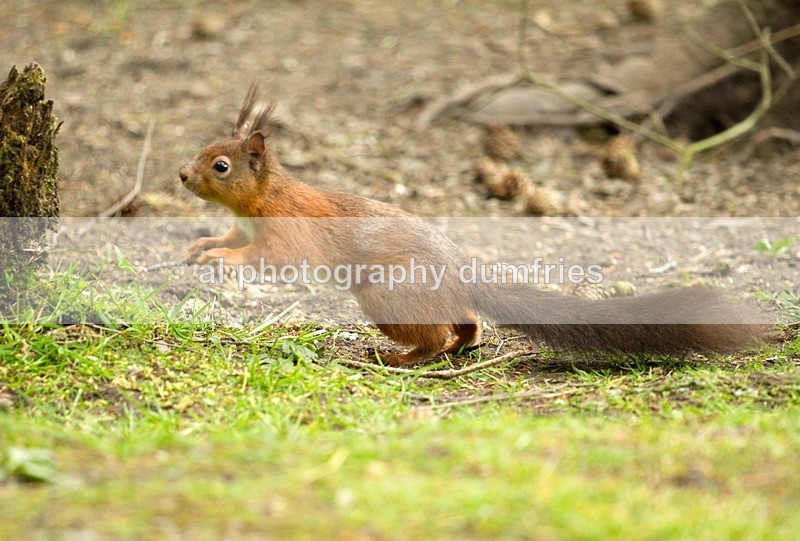 red Squirrel 4 (disambiguation). - Eskrigg Nature Reserve Lockerbie