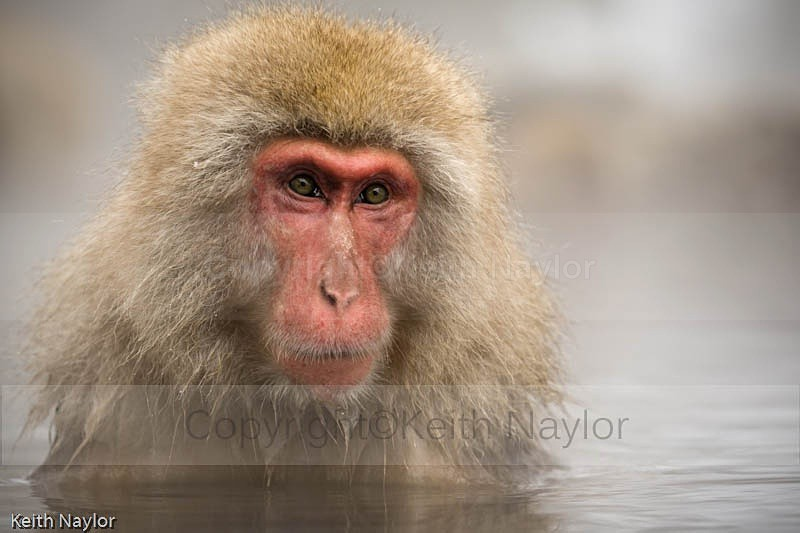 Japanese Macaque Snow Monkey in hot spring
