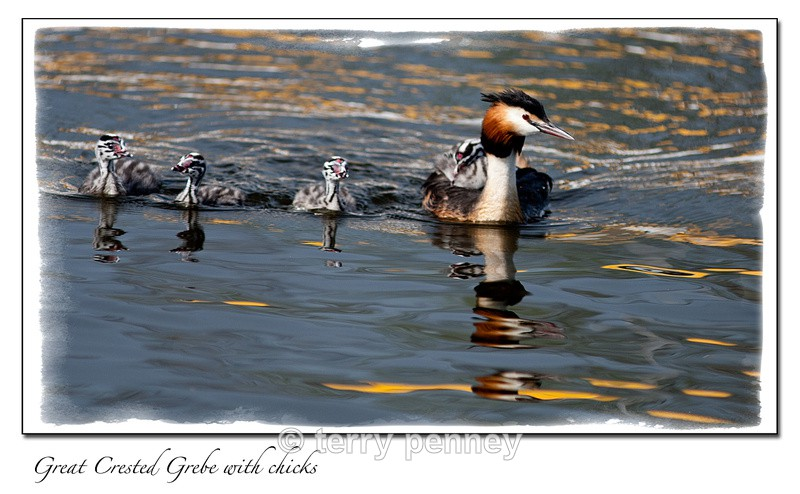 Great Crested Grebe - Birds