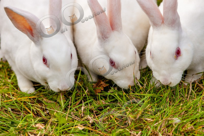 Domestic rabbit Oryctolagus cuniculus-3230 - Pet Photography