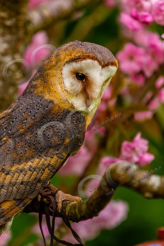 European Barn owl tyto alba gulgutta-3888 - Owls of the World