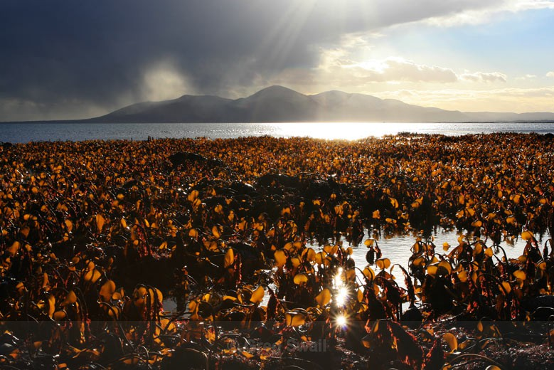 Kelp Forest - The Lecale Coastline