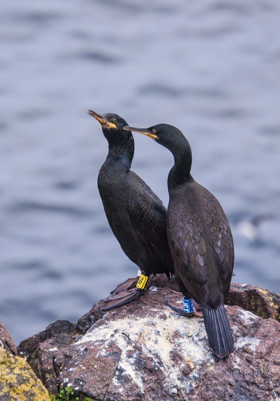 Adult shags - Fife and the Isle of May