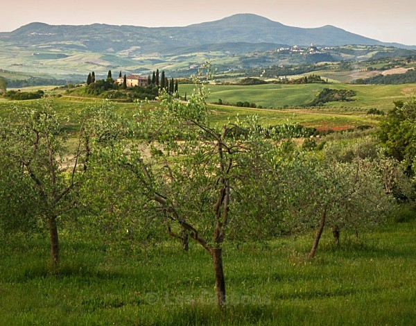 belverdere olive grove - Tuscany
