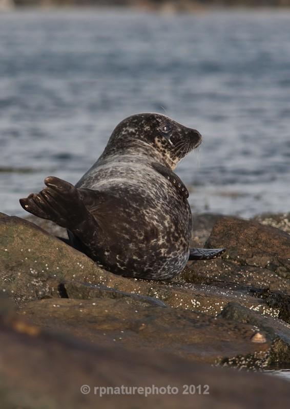 Common Seal - Phoca vitulina RPNP0043 - Mammals