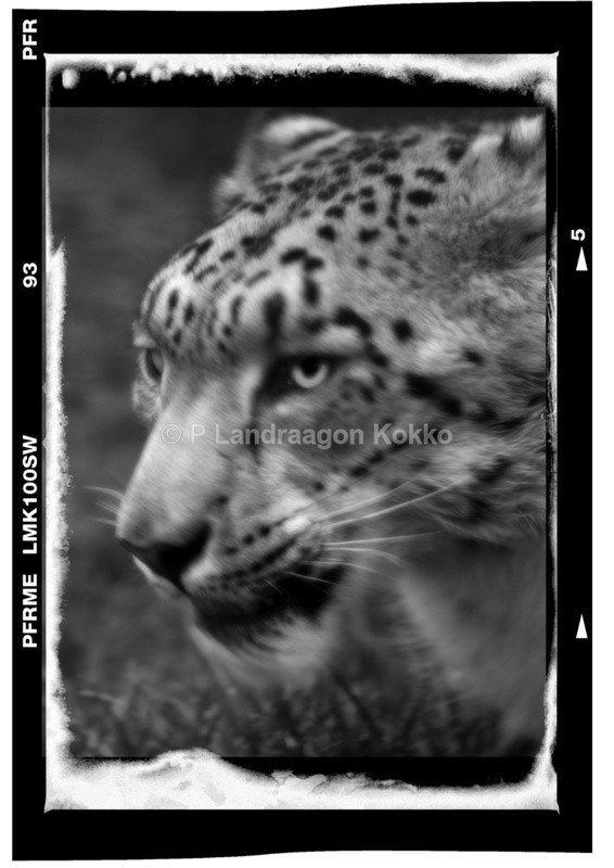 Snow Leopard - Portraits